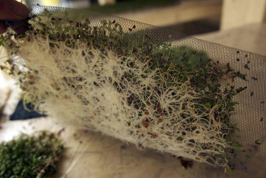RØDDER.Molly fortæller mig, at for at kunne vide hvordan frøene vil sætte rødder i de forskellige tekstiler, er hun nødt til at lave prøver. Ovenover ses to prøver: Salat i tyl og radiser i lærred.