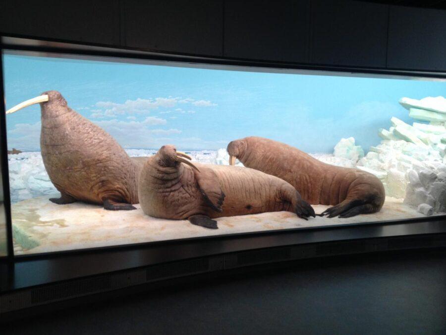 signe-redvard-frandsen-zoologisk-museum