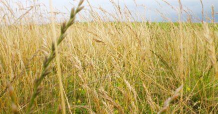 Kornmarken i Dragør